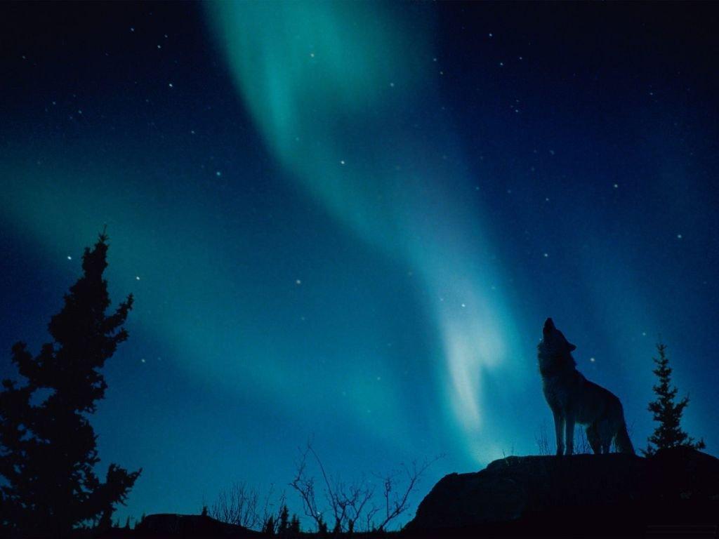 Дикие животные волки часть 2